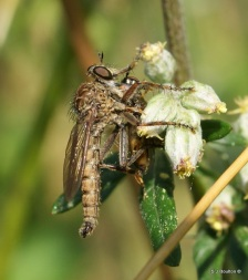 Robber fly eating its prey