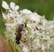 Tiphia femorata (beetle killing wasp) M