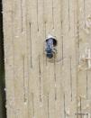 Osmia caerulescens female