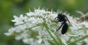 Andrena nigrospina